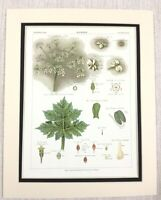 1883 Antique Botanical Print Hogweed Plant Flower Leaves Seeds Chromolithograph