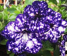 200 Blue Sky Petunia Seeds Petunia Blue Sky Annual Blue Petals White Flower Seed