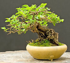 WHITE MULBERRY - Morus Alba - 55 seeds bonsai - SOW ALL YEAR - TREE