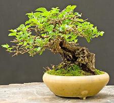 WHITE MULBERRY - Morus Alba - 55 seeds bonsai - SOW ALL YEAR - TREE