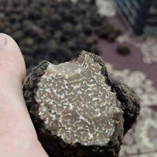Fresh black truffles . Precious T.Aestivum. 180g. Mushrooms 6,3oz