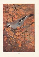 c1914 NATURAL HISTORY PRINT ~ JAY IN ACORN TREE ~ LYDEKKER