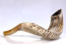 "Ram Shofar Horn Kosher Half Polished 13""-15"" Judaica Evangelical"