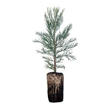 Giant Sequoia | Live Tree Seedling (XL) | The Jonsteen Company