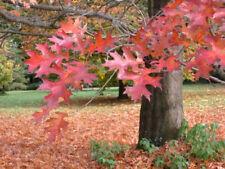 QUERCUS RUBRA 40 PLANTAS alv. roble roja rojo oak planta 0,5 Prebonsai OFERTA