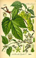 30 Semillas de Lúpulo (Humulus Lupulus) seeds