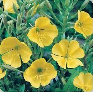 Evening Primrose (Oenothera Lamarckiana- 500 Seeds- BOGO 50% off SALE
