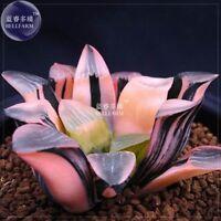 Haworthia Hybrid, 6 seeds / pack, pink black lovely bonsai home garden succulent