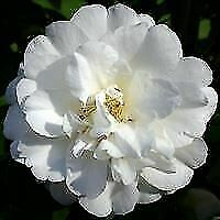 Camellia japonica Onetia Holland-Camellia - Rose of Winter Plant in 3.5 '' pot
