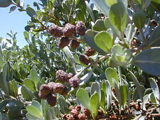 *100 Seeds*Conocarpus Erectus*Buttonwood*Sea Mulberry*Button Mangrove*Bonsai*