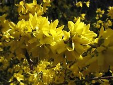 10 x Forsythia intermedia 'Spectabilis' Hedging 2-3ft Tall,Yellow Spring Flowers