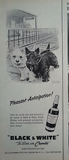 1958 Black & White Scotch Whisky Scottish Terriers Scotties Dogs Anticipation Ad