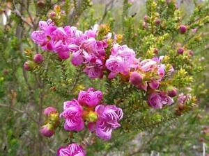 100 Melaleuca pulchella CLAW HONEY MYRTLE SEEDS Australian Native