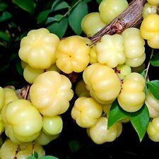 10 Seeds Star Gooseberry Phyllanthus acidus free shipping SL SELLER