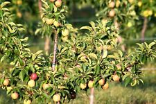 3 IN ONE APPLE TREE FRUIT COCKTAIL TREE 2-3 FT,, GRANNY ,,  GALA ,,   FUJI APPLE
