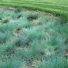 100 Blue Fescue Seeds Ornamental Grass Perennial Blue Green Plant