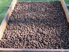 "I'm Back !! Minnesota Black Walnuts In the Shell Ready ""Fresh"" 9-10 lb. Box Full"