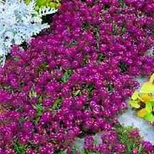 Alyssum Seeds, Oriental Nights, Ground Cover Seeds, Bulk Seeds, Heirloom, 500ct
