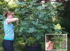 Winterharte Gebirgsfeige für Garten mit Früchten / 2 Pflanzen + Pflanzsubstrat