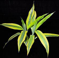 """Golden Sanderiana Dracaena Lucky Bamboo Shipped in 3"""" Pot **2 Plants Per Pot **"""