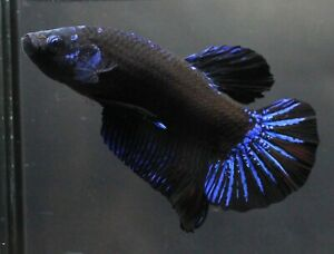 Fish Plakat Betta Live Pet Star Black Blue Thai Fight Male Aquarium Premium AAA