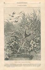 Hirondelle de Marais Roseau Oiseau Dessin de Bodmer GRAVURE ANTIQUE PRINT 1867