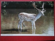 POSTCARD ANIMALS DEER PADDLING IN THE WATER