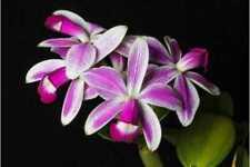 Cattleya Violacea Flamea. Cattleya Orchid Plant Species.