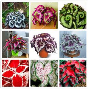 Begonia Seeds Flower Bonsai Seeds Flowers Coleus Seeds 100 Pcs Free Shipping NEW
