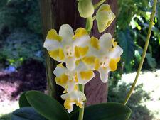 Dortis Live healthy plant hybrid flowering size