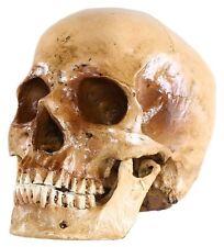 Teschio Umano 2 Pezzi di Dimensione Naturale 16 x 13 19 cm Verniciata a