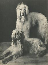 Beautiful Afghan Hounds Vintage 75 year-old Full Page Photo Print by Ylla