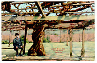 Vintage postcard - Largest Grape Vine In The World, California No. 9155