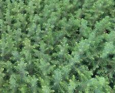 1 x Serbische Fichte - Picea omorika im Topf 40-45 cm