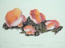 Naranja Peziza Hongo, Hussey antigüedad ORIGINAL Impresión de hongos seta 1847