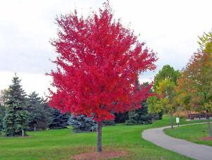 Red Maple Seeds (Acer rubrum), 30 Seeds