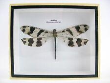 Antlion (Myrmeleontidae sp.) XXL - echte Libelle in 3D Holzbox - wunderschön d