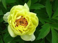 Yellow Flower China's Peony Seeds Paeonia suffruticosa Tree DIY Garden