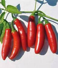 PEPPER SEED, SERRANO, HEIRLOOM, ORGANIC, NON GMO, 20+ SEEDS, HOT CHILLE PEPPERS