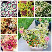 Geranium Seeds Pelargonium Peltatum Flower Seeds Rare Indoor Home Ornament 20pcs