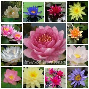 10Pcs Bowl Lotus Flower Seeds Nelumbo Water Lily 30 Kinds Perennial Home Garden