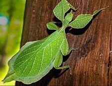 10 Eggs - Phyllium siccifolium (Leaf stick insect) + 1pcs random egg bonus
