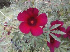 One Dozen Seeds:October Rose, Monarch Rose Mallow Hibiscus