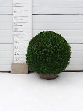 Buchsbaumkugel in 65cm Formschnitt mit Wurzelballe! Sehr günstig! Nur € 34,95!