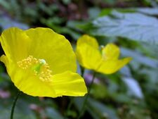 Meconopsis cambrica Welsh Poppy Hardy Perennial Yellow Flowers 100 Seeds UKFreeP