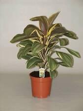 10 Plants Cordyline fruticosa-Chocolate queen tissue culture raised healthy plan