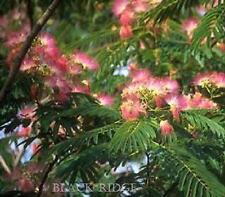 Mimosa Silk Tree 20 Seeds