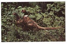 south dakota pheasant paradise ring necked state bird postcard sd hunting