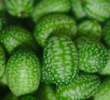 ☺20 graines de concombre du Mexique / cucamelon