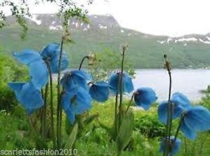 HIMALAYAN BLUE POPPY MECONOPSIS BETONICIFOLIA  Wild Flower 50 Seeds BN